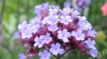 Vaste Planten Tuin : Roze bloeiende vaste planten verschillende soorten