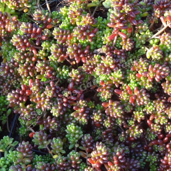 Sedum - Sedum album coral carpet ...