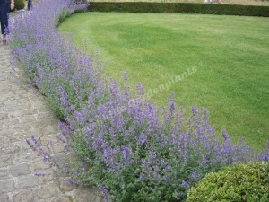 Vaste Planten Tuin : Nepeta kattekruid een goed vaste plant voor tuin en
